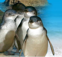 Phillip Island Penguin Parade - Accommodation Burleigh