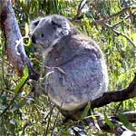 Koala Conservation Centre - Accommodation Burleigh