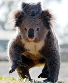 Koalas in Gunnedah - Accommodation Burleigh