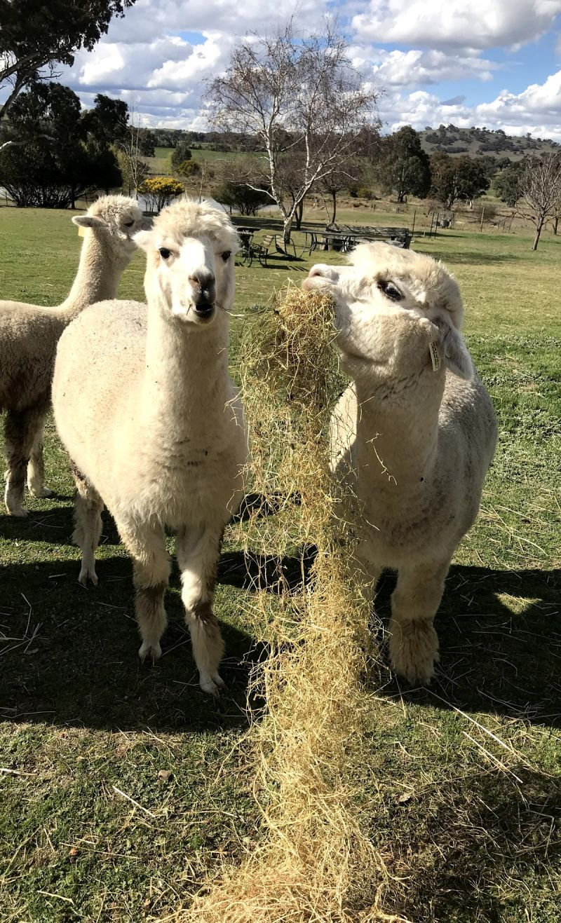 Clearview Alpacas - Accommodation Burleigh